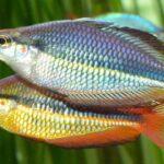 australian rainbow 40