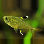 golden-pristella-tetra-online-rad-aquasystem 30