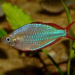 neon rainbow fish Rs.60
