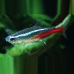 neon-tetra-online-rad-aquasystem 15