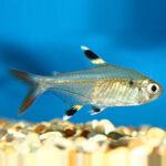 pristella-tetra-online-rad-aquasystem 30